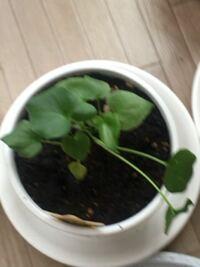 観葉植物 セローム が2本倒れてます 土は湿ってます 日当たり悪いですが、窓際のレースのカーテン越しに育ててます どうしたら元気になりますか? 少し液肥じゃない肥料はいれてます  ベランダについたら、虫がつ...