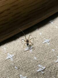 コタツから出てきたんですけど、これってイエユウレイグモですか?2センチくらいです