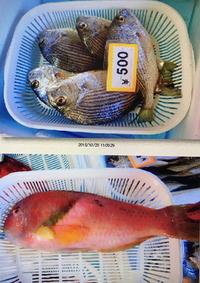 昨日、愛知県常滑市の魚屋さんで買った魚で、地魚だそうです。どちらも刺し身にしてもらって食べたのですが、とても美味しかったです。 名前を聞いたのですが、よく聞き取れず、あまり聞いたことのない名前だった...