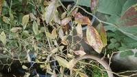 ブルーベリーを育てています。ラビットアイ系。 毎年花は咲き、実もつけるのですが、株としてなんだか元気がありません。 今は葉の真ん中が灰色?白色?になっています。なにかの病気でしょうか? 対策も教えて...