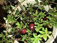 この画像の植物の名前は何ですか??  また、赤い身は食用ですか??