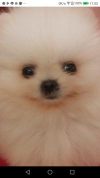 ポメラニアンの子犬を購入しようと思っています。 ただ、気になるのは、外斜視の傾向があるように思えるのですが、 どうなのでしょう。 先住犬がおりますが、少し、白目は見える時もあります が このようではありません。 詳しい方、教えてください。 また、 受けた印象も教えて下さい。