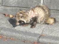 疥癬症のタヌキと思われる動物を住宅街の一角で見つけました。 これはタヌキ、それともハクビシンのような種類ですか。