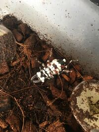 クワガタが白カビに覆われて死んでしまいました。 一緒のケースに入っていた他のクワガタは元気なのになぜこの個体だけこうなってしまったのでしょうか…。