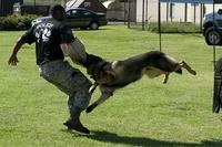 警察犬や軍用犬って、対ナイフの訓練も受けているのですかね? 警察犬や軍用犬は日々厳しい訓練を乗り越えていると聞きました。 ですが、犯人や敵がナイフを装備していた場合、犬が犯人に噛み付いたら、ナイフで刺されてしまう危険性も高いですよね。  そこらへんは、警察犬や軍用犬って対処方も訓練で身につけているのですかね? それとも、犬たちはナイフの危険性までは明確に理解はできないでしょうか? でも、...