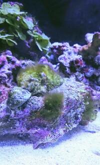 ライブロックに髭のような苔が発生しています。 駆除する方法はないでしょうか? 60センチ水槽 外部フィルター 水流あり ブクブクのプロテインスキマー クマノミ一匹 サンゴ砂細目1センチ ライブロック2キロ LEDライト