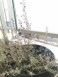 このギョリュウバイはもうダメでしょうか。。? 先日買ってきて植え替える鉢がなかった為 買ってきたままの鉢で水をあげ その次の日 まる二日間くらい お水をあげれず お花がしぼんでしまいました。 急いで大きな鉢に植え替え お水を毎日あげているのですが お花も咲く感じもなく 葉っぱがパラパラと落ちてきてしまいました。。 (因みに植え替える時に根がびっしりなっていて下の方の根を少しほぐそうとしたので...