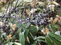 この黒い実の植物の名前を教えてください。  見つけた場所 : 乗鞍岳の中腹、亜高山帯 見つけた時期 : 秋(なので凍っていて葉も落ち、花も変色しています...) 実 : 黒く小さなものが房状につ いています 花 :...