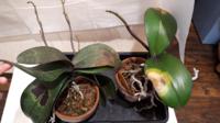 胡蝶蘭ですが、写真のように葉が傷んでしまいました。炭疽病とか軟腐病あたりではないかと消毒薬を散布しました。 この傷んだ葉は部分的にでも切り取った方が良いのでしょうか? このまま自然と葉が落ちるまでお...