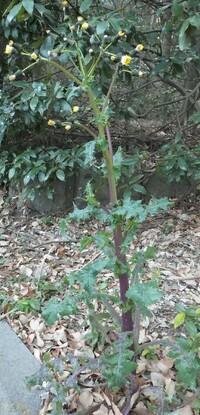 ノゲシについて。 画像の植物はノゲシという植物でしょうか。 調べたところノゲシはタンポポと似ており食べることもできるそうですが、野草としての効能や調理方法はタンポポと同じでしょうか 。 また、食べた...