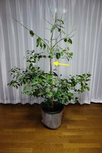 レモンの剪定について、お尋ねいたします。 鉢植えでレモンの種から育てて5年目になりました。 現在まで花も実も付けたことはありません。 育て方を調べると、上に伸びる枝は切るようにとあるのですが、画像の矢印のあたりで剪定しても良いのでしょうか? 鉢植えの土からの高さが70cmくらいの場所になります。 当方初心者なので、どれくらいの高さで切るべきなのか、また切ったら枯れてしまうのではないか...
