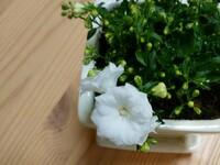 白い花の名前を教えてください。花の大きさは1センチくらいです。先週ホームセンターで購入しました。知っている方がいたら教えてください。 よろしくお願いします。