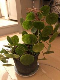 観葉植物 ピレア・ペペロミオイデスについてです。 買ってきてしばらくしたら葉がこのようにまだらになってしまいました。ちなみに植物ショップで売っていた他のも一部こんな感じになってました。花も出てきたので元気ではあるのかと思いますが、葉っぱがチャームポイントなだけに気になります。 日の当てすぎでしょうか?  カーテン越しの光にしてはいるのですが、すごく薄いカーテンで、たまにカーテンが風に吹かれて...