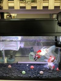 金魚の上部濾過について。 只今60cm水槽に、丹頂二人、琉金二人 買い始めて1年弱ですが、丹頂は尾っぽの先まで入れたら手のひらぐらい大きいです。  ニッソー の水槽にセットになっていた スライドフィルター...