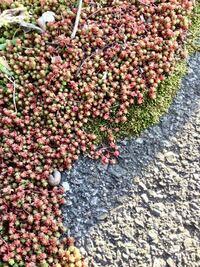 街路樹の下で見つけた、この植物は何でしょうか? 虹の玉を5分の1 くらいにした形です。