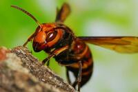 スズメバチって害虫でしかないですよね?  地球上での存在価値って何かあるんですかコイツラ?? ゴキブリやハエ、蚊の方がよっぽどマシだと思うのですが…  植物の受粉を手助けしたり人間 に有益な蜂蜜を生...