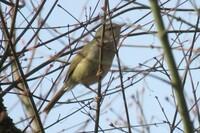 野鳥についてお尋ねします これはウグイスでしょうか? 鳴き声は聞こえるのですが この鳥が鳴いているのかはっきり分かりませんでした