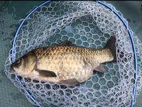 亀山湖で釣った巨大な鮒です。 鮒にもいろいろ種類があるようですがこれは何という鮒でしょうか。