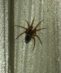 1つ目の質問 このハエトリグモの種類を教えて下さい(画像から判別できれば雌雄までお願いします。) 2つ目の質問 このクモ、何故かカーテンでしばらく動きません。 朝になると消えていたりするので生きているこ...