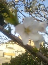4月2日に我が家の庭の桜の花が咲き始めました。ソメイヨシノよりも遅い開花です。 そこでこの桜の木の名前がわかりません。 花びらは5枚、白色で葉が先に出てきました。 どなたか教えて下さ い。