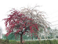 添付画像はなんていう木でしょうか。 幹は一本なのに、花の色が2色にわかれています。 撮影日:2019/4/7 撮影場所:関東地方