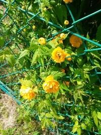 写真のようなマリーゴールドに似た花を付ける植物の名前を教えてください。