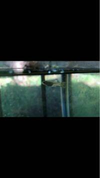 メダカのいた水槽にメダカを他に移し、グッピーを入れました。先日この子を発見しました。メダカの卵があったかと思ったら、だんだん尾ひれがグッピーのようになってきました。これはグッピーの稚魚ですか?