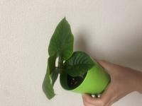 花屋さんにもなんの植物か分からなかった観葉植物です。 これがなんなのかわかる方いらっしゃいましたら教えてください。