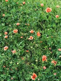 この花ってケシの花ですか? 近所の空き地にいっぱい生えてるんですが、 通報した方が良いですか?