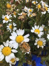 ノースポールの花が咲き終わったので、花がら摘みをしようと思います。そのとき、種を取っていたら、秋ごろに蒔けば、また花を咲かせることができるでしょうか?