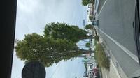 街路樹の名前をお教えください。 長野県駒ヶ根市の国道153号バイパス沿いの街路樹です。 添付の画像をご確認下さい。