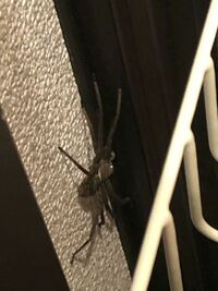 【閲覧注意】蜘蛛の写真あります この蜘蛛はアシダカグモでしょうか? 見にくい写真ですみません。 昨年もこの時期に家の中に現れ、外に逃がしました。 外から再び入ってしまったのか? 或いは家の中で育った別の...