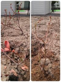 ブルーベリーの苗木の枯れ 昨年ブルーベリーの苗木を買って植えました。 あまり青々と育ってる感じではなく、数個実がついて、そのまま夏を越え秋、冬を迎えたのですが、北海道のため細い枝が折れないように冬囲...