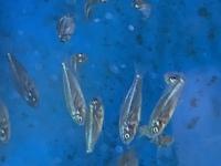 福岡の海岸で磯遊びしていたら潮だまりに稚魚と思われる魚を捕まえました。 この魚はなんでしょうか?