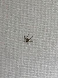 自宅にて撮影したクモです。 何という名前でしょうか? 普段クモは放置しているのですが、なかなかのサイズなので少し不安です。