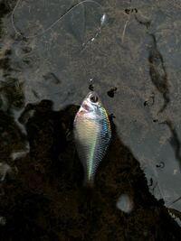 この魚はタイリクバラタナゴでしょうか?