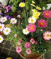 画像のキク科の花4種類、 これは屋外で 宿根しますか? 寒冷地です。  また花の名前も教えてください。