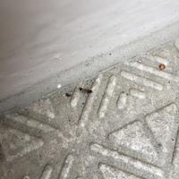写真の虫がなんの虫か? またその発生原因や駆除方法などを知りたいです。  最近マンションのベランダの隅を這っています。 1匹か2匹連なっている事が多いです。 主人は蟻だと言いますが、 私は違うと思います…  虫に詳しい方、よろしくお願いいたします。