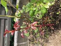 バラの木の近くに生えているのですが、これもバラの木でしょうか? 真っ赤な茎と葉です。 棘が見当たらないのですが、葉の形などは隣のバラの葉に似ています。 それとも、バラとは関係のない 、雑草でしょうか?