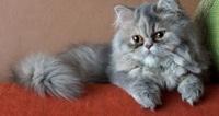 俺んちの猫なんだけど可愛いですか? 40万円したんだけど大したことないですか?
