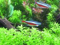 真ん中の魚のエラの白いものって寄生虫ですか?