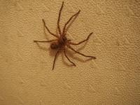 これは、なんという蜘蛛ですか? 家の中にいて、蜘蛛の巣も張らないんです。