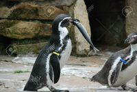 ペンギンて、食べた魚の骨も全部消化できちゃうのですか? 人間は魚を食べるときは、基本的に骨はどけて食べますよね。 ですが、ペンギンたちは魚を丸のみにして食べています。  そこで思ったのですが、ペンギ...