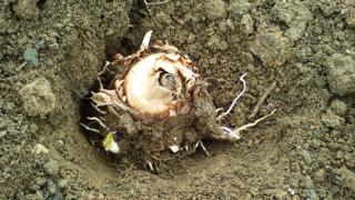 方 植え 里芋 の