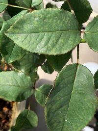 バラの葉にこのような模様が出ているのですが、モザイク病でしょうか?(下葉は葉脈にそって黄色くなっています。)