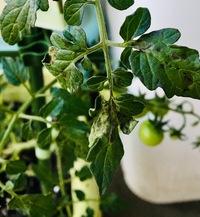 先日の大雨のあとミニトマト(ピンキーという品種)の葉っぱが写真のように複数枚黒くなってしまいました。これは何かの病気になってしまったのでしょうか?  ミニトマト栽培環境はベランダで10 リットルの野菜用...