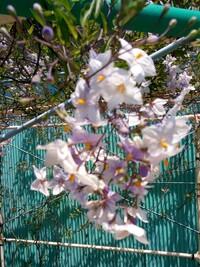初めはニオイバンマツリと思っていたのですがつる性植物なので違うとわかりました。この紫と白の花をつける木は何でしょうか?