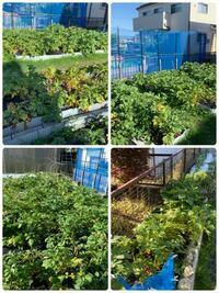 ジャガイモの収穫時期について質問です。 土日祝のみの家庭菜園者です。 6/8土6/9日が珍しく仕事なので6/1土6/2日 また 6/15土6/16日のどちらかで収穫をと考えてますが、6/1-2だとまだ早いでしょうか? 梅雨入りの心配もあり晴れた日しかできないのでとは言え植えたのは3/10でした。 場所は名古屋で葉や茎の状態は写真の様です。 写真みてわかる方お願いします。