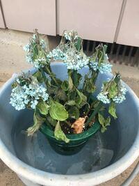 紫陽花がしおれてしまいました。 母の日に紫陽花をプレゼントしたのですが、実家へ帰ると水切れの為かしおれてしまっていました。 バケツに水を張って鉢ごと沈めて様子を見ようと思っているのですが、花や花の近くの葉はだいぶカラカラな感じです…。 ここまでしおれてしまうと復活は厳しいでしょうか?? 花は諦めて剪定してしまった方が宜しいですか?  アドバイスよろしくお願いします。