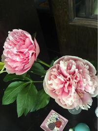 このお花は芍薬ですか?それとも、牡丹ですか?